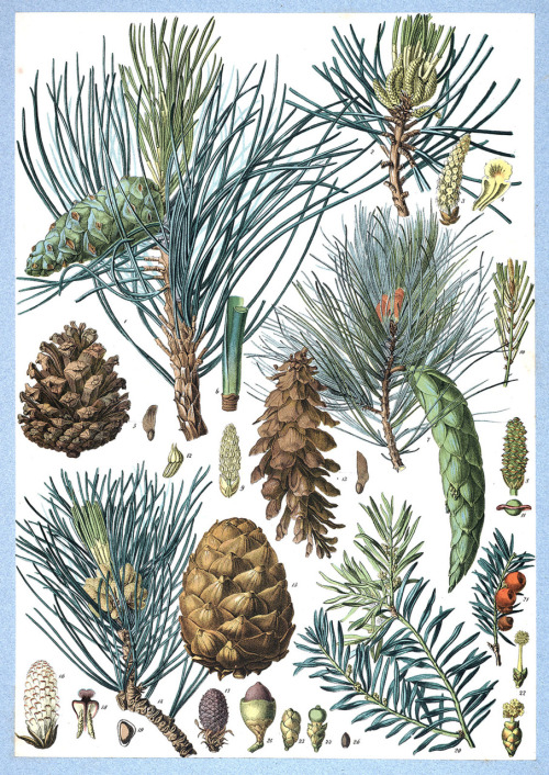 oldbookillustrations:  Pinus nigra, Pinus strobus, Pinus cembra (Swiss pine), Taxus baccata (European Yew) From Flore forestière illustrée du centre de l'Europe (Illustrated forest flora of central Europe), by C. de Kirwan, Paris, 1872. (Source: archive.org)