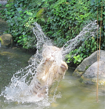 Splash! (playful tiger in Singapore)
