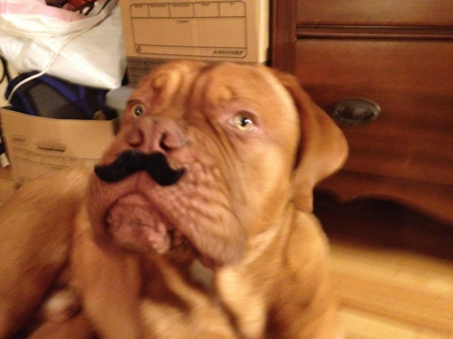 Monsieur Julius, dogue de Bordeaux