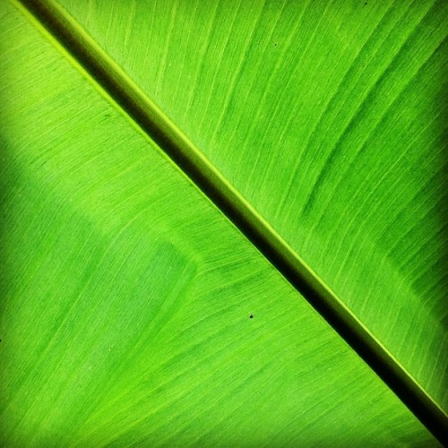 hipa13:  #leaf #green #nature #natural #plant #photooftheday #iphoneography #instagram #instagood #instaday #instago #iphonesia #instasunda #hipstamatic  (Taken with instagram)
