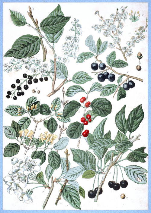 oldbookillustrations: 1872 Charles de Kirwan (French, 1827-1919) ~ Prunus padus (bird cherry), Prunus spinosa (blackthorn), Prunus avium (wild cherry), Lonicera xylosteum (Fly honeysuckle). From Flore forestière illustrée du centre de l'Europe (Illustrated forest flora of central Europe) via archive.org