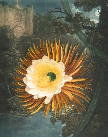 Robert John Thornton Night-Blooming Cereus 1807