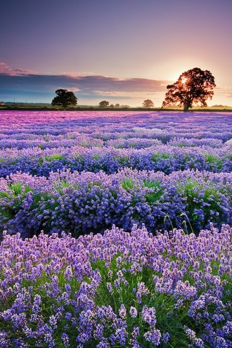 lavendar field, france