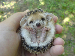 s-un-rise:  sh4mexo:  aww this is so cute  aww da wittle porcupine