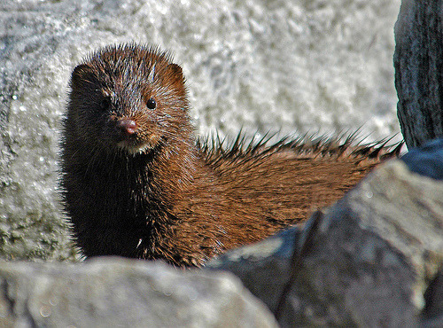 Wild Mink…A Rare Daytime Sight (by ozoni11)