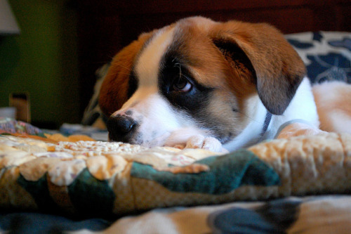 animals-animals-animals:  St. Bernard Puppy (by one.juniper)