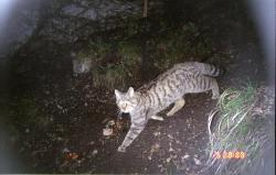 BBC Wildlife Camera-trap Photo of the Year 2011: The Winners  New Discoveries commended: The first proof of wildcats recolonising the Jura mountains by KORA
