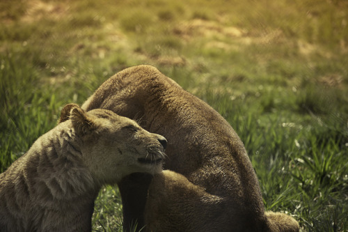 fuckyeahfelidae:  big cats by mandeep boparai on Flickr.