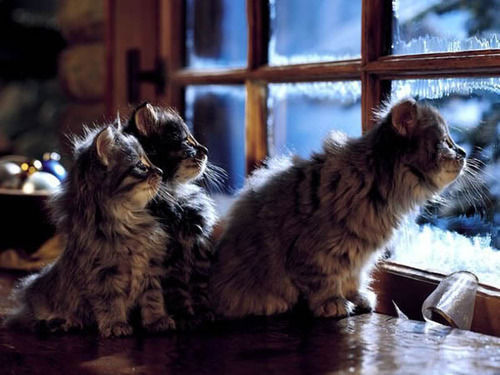 thefingerfuckingfemalefury:  Christmas kittens, waiting up for Santa Claus :D  OMG THEY TOTALLY ARE.