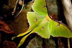 shakespeareanawesomeness:   Actias luna, commonly known as the Luna Moth, is a lime-green, Nearctic Saturniid moth in the family Saturniidae, subfamily Saturniinae. It has a wingspan of up to 4.5 inches, making it one of the largest moths in North America.  (wikipedia)