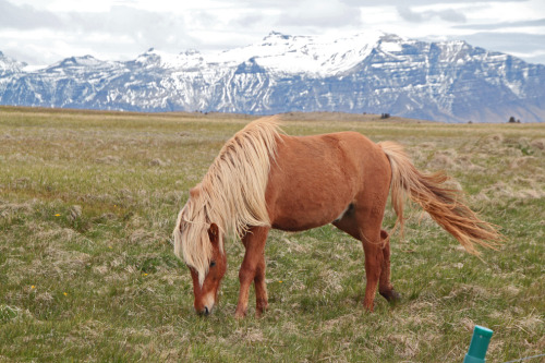 Beautiful Blonde. A wild Icelandic horse snapped on the west coast of Iceland.  Photograph by Daniel Virella.