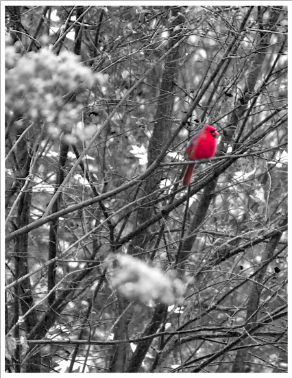 Cardinal.I was photographing my family while a Cardinal flew by…Cherokee belief states that cardinals are Daughters of the Sun.            The cardinal makes a fantastic animal totem. It reminds us to hold ourselves with pride - not ego pride. Rather, the cardinal asks us to stand a little taller, be a bit more regal, step into our natural confidence as if we were born to lead with grace and nobility. This shock of red, especially against the stark backdrop of winter snow, is a magnificent sight. The male cardinal reminds us passion, warmth and vibrancy is available to us - even in under the cloak of winter's grey clouds.