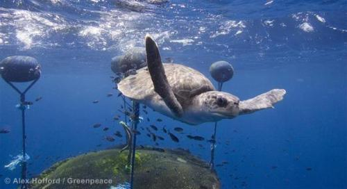 A loggerhead turtle swims near a Fish Aggregation Device (FAD). As shown in the graphic, whistle-blowing footage we released http://j.mp/tXQTfk, using FADs is a destructive and unsustainable fishing method that results in the needless deaths of many marine animals, from turtles to sharks. You can help bring this terrible FAD to an end by signing our Marine Reserves petition now: http://j.mp/sKJbOf