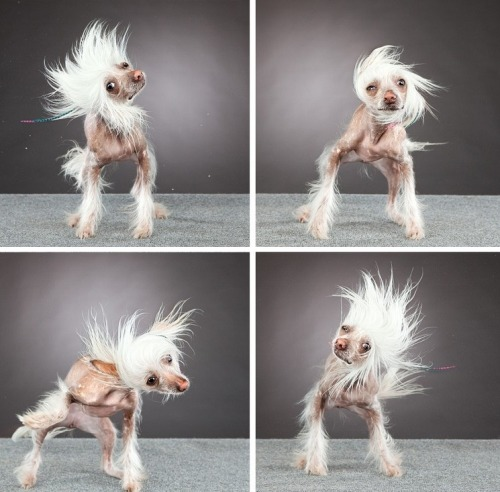Carli Davidson photography. Chinese Crested Dog after shower =P