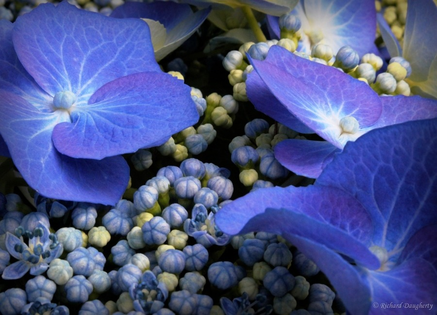 Blue Hydrangeas by Richard Daugherty