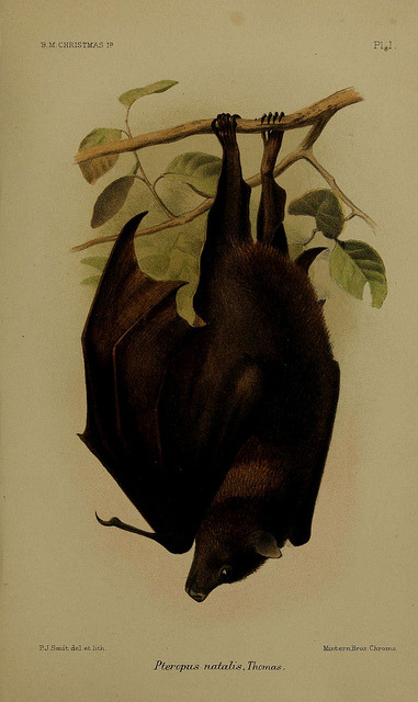 n360_w1150 by BioDivLibrary on Flickr. The Black-eared Flying Fox (Pteropus melanotus)
