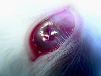 sciencecenter:  Scientists create first bionic contact lens, foolishly equip rabbits with new technology  Bionic contact lenses—which would display navigation data, personal emails, or any other sort of info superimposed on the world before your eyes—have long been mainstays of science fiction. Over the past several years, researchers have been working to make the tech real-world ready, striving to find solutions to the energy, size, safety, and image-quality problems that come up when you're trying to fit a tiny integrated circuit into something transparent that sits on an eyeball. Now, University of Washington researchers and their Finnish colleagues have made the first functioning bionic lens: a prototype with a single LED pixel, which could be safely worn by rabbits in the lab. (The image at right shows a rabbit wearing an earlier version of the lens, which contained a circuit but no light-emitting components.) Radio frequency energy emitted from a nearby transmitter and picked up by a circular antenna a fifth of an inch in diameter, printed on the lens, powered the electronics. The transmitter supplied adequate energy from three feet away when the lens was sitting in a dish, but had to be less than an inch away when the lens was placed on a rabbit's eye, since tissues and fluids in the body interfered with reception. Since light from such a lens would be too close for the human eye to focus, the researchers made a separate contact composed of an array of smaller, flatter lenses, which would sit on top of the bionic contact and focus the light.   What are these scientists thinking? Haven't they seen what rabbits are capable of?