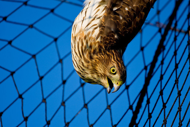 birdblog:  Hawk by tendolab on Flickr. wat.  Don't Make me come down there!