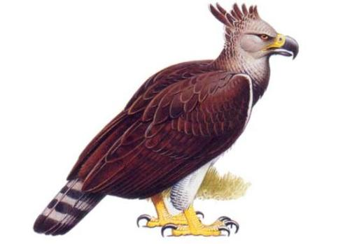 rhamphotheca:  The Haast's Eagle posted by Blueeyedeagle on Carnivora Forum Body Length: 140 cm / 4 ft 7 in. Height: 90 cm / 2 ft 11 in. Wingspan 2.6-3 m / 8 ft 6 in - 9 ft 10 in. Weight: 10-15 kg / 22-33 lb. (text from wikipedia) Haast's Eagles were the largest true raptors, outsizing even the largest living vultures. This wingspan was similar to that of some surviving eagles (the largest Golden Eagles and Steller's Sea Eagles), though even the largest extant eagles are about 40% smaller in body size. Short wings may have aided Haast's Eagle when hunting in the dense scrubland and forests of New Zealand. Haast's Eagle is sometimes portrayed as having evolved towards flightlessness, but this is not so; rather, it represents a departure from its ancestors' mode of soaring flight toward higher wing loading and increased maneuverability. The strong legs and massive flight muscles would have enabled the birds to take off with a jumping start from the ground, despite their great weight. The tail was almost certainly long (up to 50 cm (20 inches), in female specimens) and very broad, further increasing maneuverability and compensating for the reduction in wing area by providing additional lift.  Haast's Eagle preyed on large, flightless bird species that were unable to defend themselves from the striking force and speed of these eagles. Among its prey was the moa which was up to 15 times its weight. It attacked at speeds up to 80 km/h (50 mph), often seizing its prey's pelvis with the talons of one foot and killing with a blow to the head or neck with the other. Its size and weight indicate a bodily striking force equivalent to a cinder block landing on the target from a height of 25 m (82 ft). Its large beak also could be used to rip into the internal organs of its prey and death then, would have been caused by blood loss. (via: Carnivore Forum)