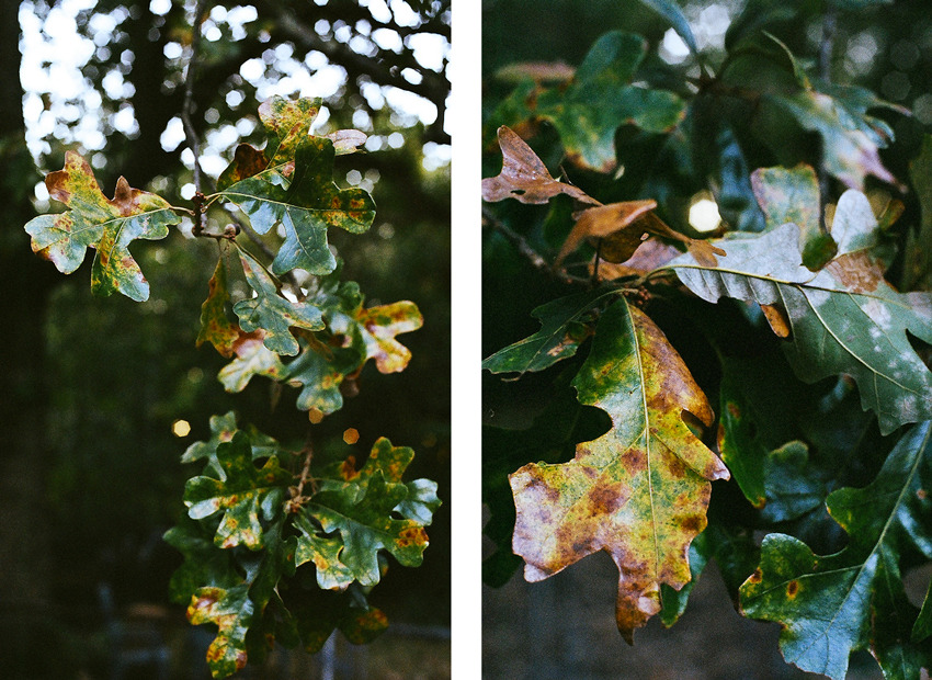 Kodak Portra 400 pushed to 3200 - Another example - Fall leaves in Greensboro, NC As a follow-up to my other recent post about pushing Kodak Portra 400 to 3200ASA (which I recommend you read as well), here is another example of this fine new film from Kodak being pushed to its limits.  Notice the latitude (shadow and highlight detail) and behavior in a high contrast scene (specularity on the leaves specifically). Again, I'm really impressed with this film.  I sent the film to The Darkroom, they do a great job and have great prices. $10/roll flat. And $2/roll for push/pull (flat fee, regardless of how many stops you want it one way or the other). I send ALL my color film there for my personal and professional work. Try them out and tell them I sent you :)  The guys at The Darkroom pushed this roll 3 stops for me (400>800>1600>3200 = 3 full stops), a couple days after I sent the film I had proofs online.  © Andrew Pearson 2011 www.aepearson.comwww.facebook.com/aepearsonphoto