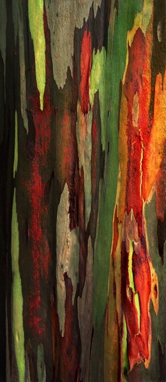 My Bohemian Aesthetic  Rainbow Eucalyptus tree bark
