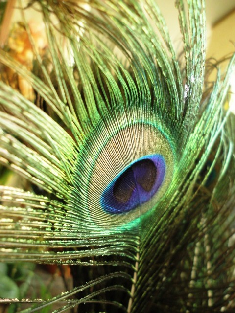 a feather of peacock.