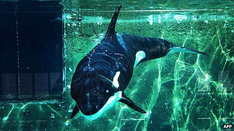 Dutch judge rejects pleas for killer whale freedom  By Anna Holligan BBC News, The Hague A Dutch judge has ruled that a rescued killer whale can be sent to a Canary Islands amusement park, despite pleas to release the animal into the wild. The case of Morgan the orca sharply divided opinion in the Netherlands.  The orca was rescued by a dolphinarium in Harderwijk after being found exhausted and starving in shallow waters in the Waddenzee in June 2010. Conservationists are devastated by Monday's ruling, fearing the move to the Canaries will kill Morgan.   The judge in Amsterdam decided however that the orca would have no reasonable chance of survival in the wild. The plan is to transfer Morgan within days to Loro Parque on Tenerife, where she will join five other orcas in a big tank, on show to the public.  Ahead of the judge's ruling the campaign website of the Free Morgan Foundation had been getting more than 50,000 hits a day. Read More: Source (BBC)