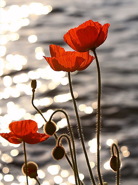 "tomfury:  Ah, scattered gold rests on the twilight streams;The poppy opes her scarlet purse of dreams. —Scharmel Iris. (1917). ""Early Nightfall"" in The New Poetry: An Anthology. Harriet Monroe & Alice Corbin Henderson, eds. New York: The Macmillan Company. Image reblogged from poppyinmymind"