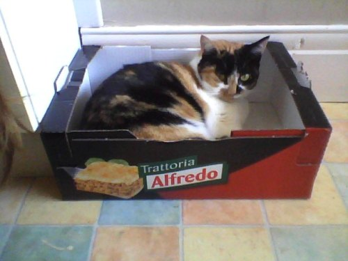 get out of there cat. you are not lasagna and you never will be!