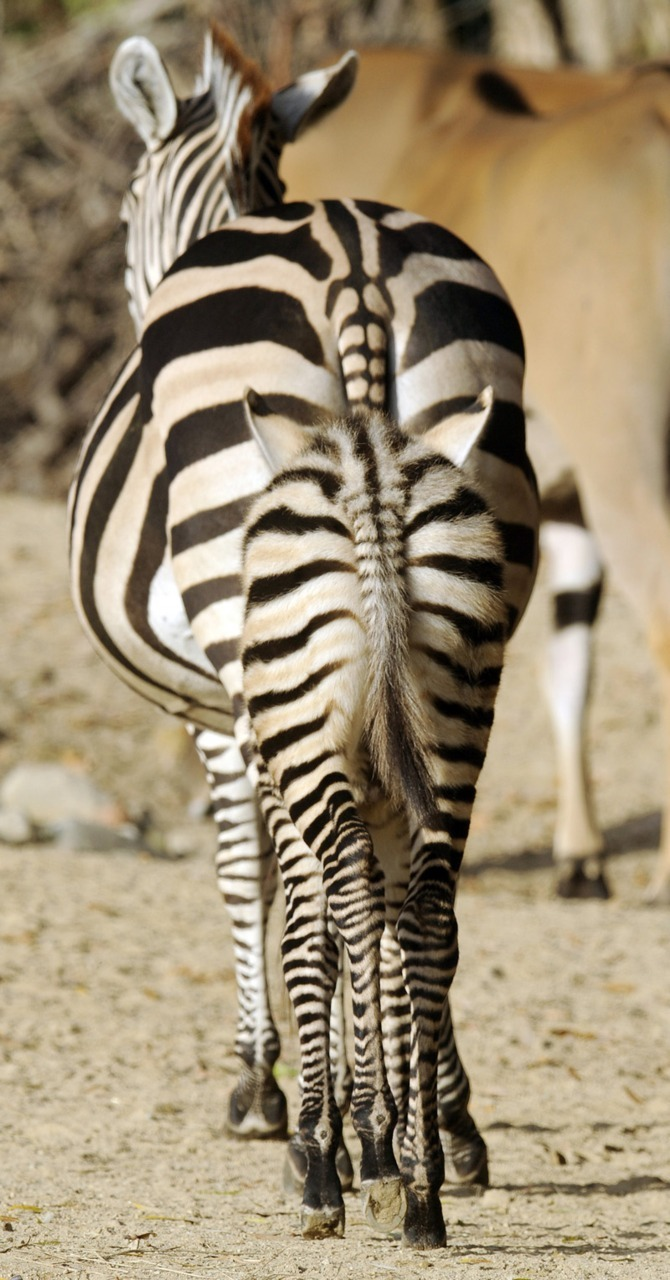 Cute animal photo of the dayA young plains zebra walks behind its mother Ela on November 23, 2011 at the zoo in Hanover, Germany. (Holger Hollemann/AFP/Getty Images)