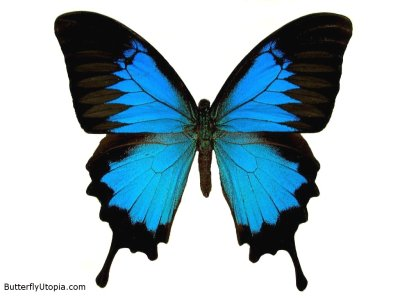 Here is a Trivia that i read about butterflies. As a butterfly enthusiast, I love to do a lot of research about this magnificent creature. Happy reading :) Mayans in GuatemalaTzutujil Mayans in Guatemala speak of simultaneous Twin Realities: the world of dreams and the world of work. These worlds are likened to the opposing wings of a Butterfly: the dream world is one wing, and the awake world is the other. They believe the wings must connect at the Heart for the Butterfly to fly and live. Real life occurs because of the interaction of the wings. The Life is the Butterfly's Heart. Life, like the Butterfly's Heart, is kept alive by the two opposing, mirroring twinlike wings.  By the way, just in case you visit my hometome in Baguio, dont forget to drop by in one of our famous Butterfly Sanctuary in Camp John Hay.