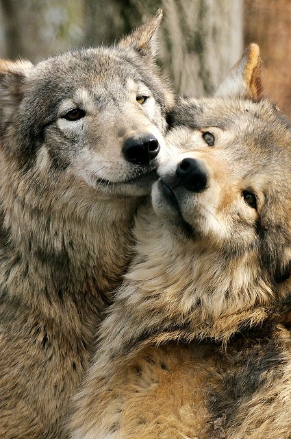 wolves-that-kill:  Wolf-couple.