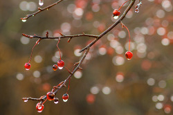 tryingrealhardtobetheshepherd:  Drips, drops, and berries~  (by ruthiedee)
