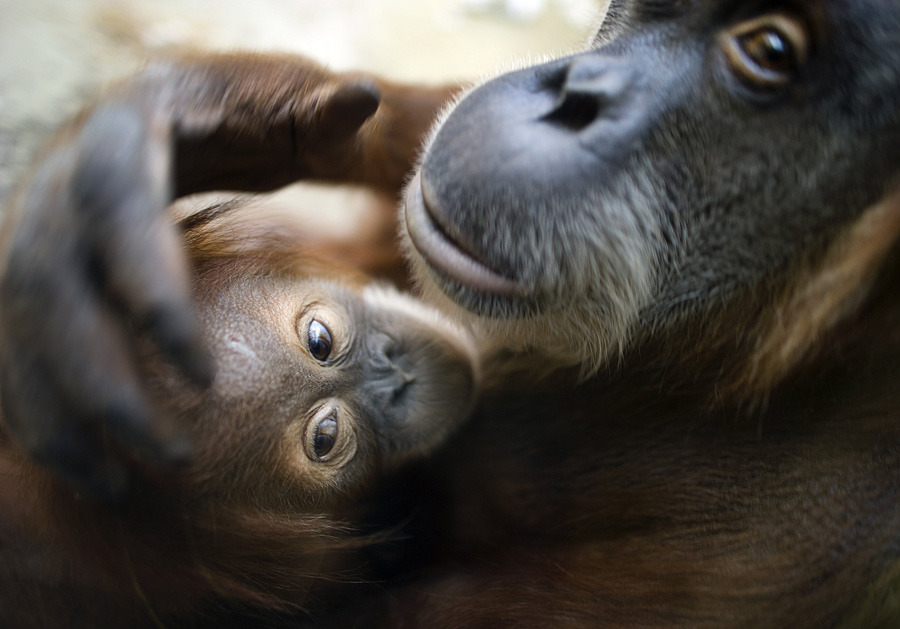 Cute animal photo of the dayOrangutan mother Daisy holds her baby Dodi on his second birthday, Nov. 24, 2011 at the zoo in Dresden, Germany. (Photo: Arno Burgi/AFP/Getty Images)