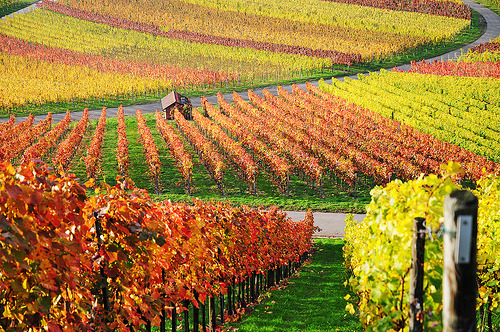theworldwelivein:  Autumn Vineyard |  Rems-Murr-Kreis, Baden-Wurttemberg, Germany© Habub3  i want to go somewhere like this with someone i'm in love with