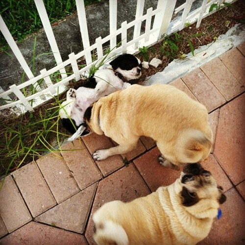 What the hell is this??? #pugsofinstagram #pugs  (Taken with instagram)