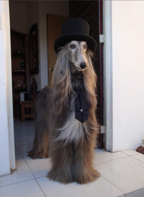 herajika:  moi-meme-moitie:  Meet Cash, the original Elegant Gothic Dog. He is an 11 year old Afghan Hound owned by kiddo_nureyev, a Mana and Moitié fan from Mexico and a dear friend of mine. :) Isn't he adorable? He is wearing a little Moitié tie. ♡ He was just featured in the latest Gothic & Lolita Bible!  He is so awesome.  Oh my dog.