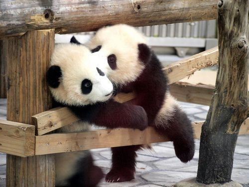 db-etc:  Panda Love!