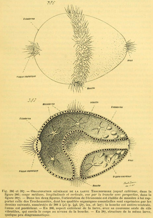 General structure of a Trochophore larva From: 'L' anatomie comparée des animaux basée sur l'embryologie' par Louis Roule. Published 1898