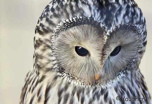 theanimalblog:  Ural owl (by queenofcalamity)