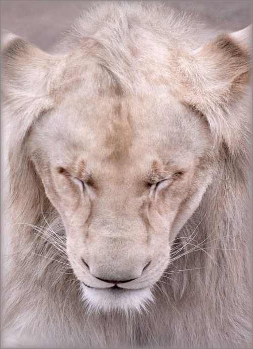 gaksdesigns: The Lion's head is proud and true So proud and true it talks to you Now bow your head and eyes and you And maybe someday you'll be proud and true.  'Silence! The Queen is meditating' by Katarina Stefanović