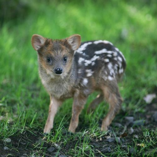 Baby Pudu by Zooborns