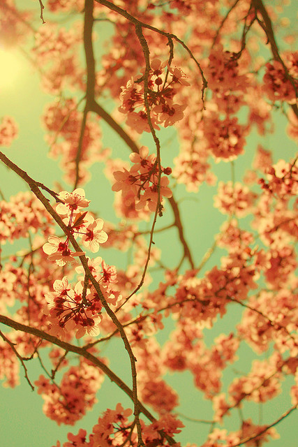 Vintage Spring Blossoms by Pink Sherbet Photography on Flickr.透過 Flickr:Want to know more about me? Visit my official website www.PinkSherbet.com! This image has been licensed by Getty Images as stock photography. 19 April, 2009 at the Layton Commons City Park, Layton, Utah, USA.