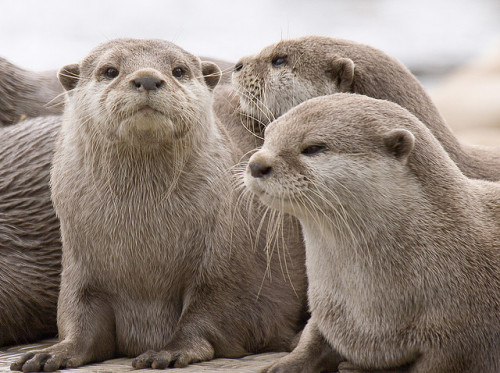 animals-animals-animals:  Asian Otters (by Captain Chickenpants)