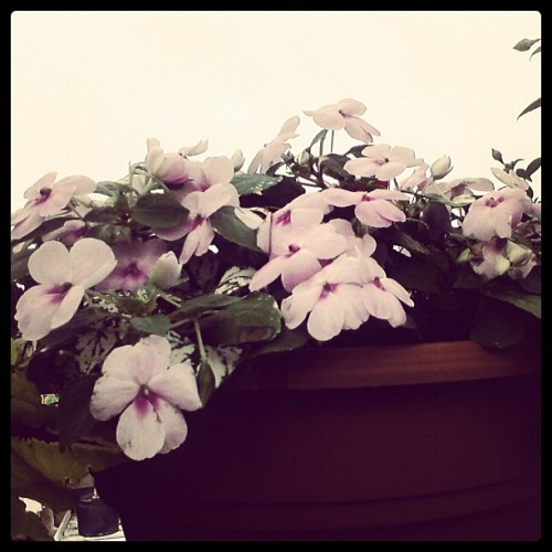 #flowers #pretty #photography #white #purple (Taken with instagram)