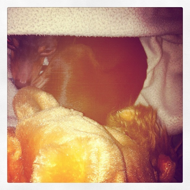 🐶 he's always curled up ready to sleep.  (Taken with instagram)