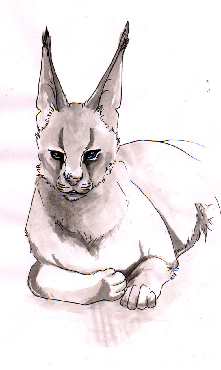 practicing drawing a caracal.  Inkwashing on copy paper is not a good idea.