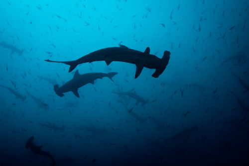 Hammerheads by Jaw's Dad