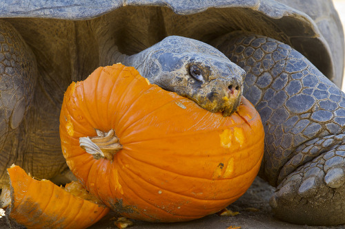 Tortoise at the San Diego Zoo enjoys his Thanksgiving meal That's usually how I eat a pumpkin. Just start chewing. Via