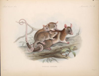Dide[l]phis derbiana (now Caluromys derbianus) - Derby's Opossum  This Paraguayan and Central American opossum was named in honor of the 13th Earl of Derby. This particular specimen lived in the Zoological Society's Gardens, and would viciously attack anyone who came near her when she had young who were not yet on their own. When she was not with her young, she was shy, but not eager to attack. Biologia centrali-americana: Mammalia. Edward Richard Alston, 1882.